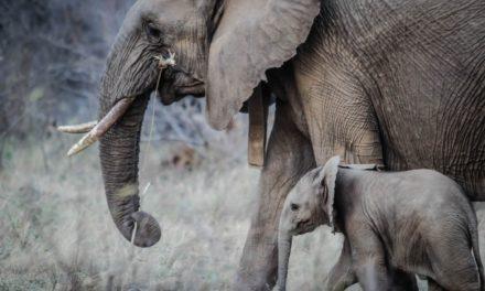 Trentamila euro per un elefante
