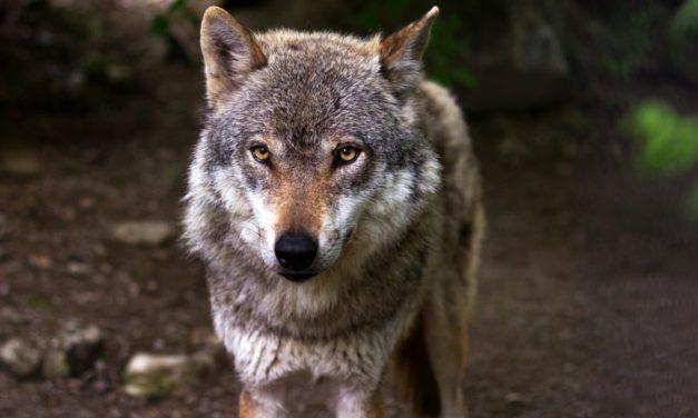 Breve storia del lupo italiano
